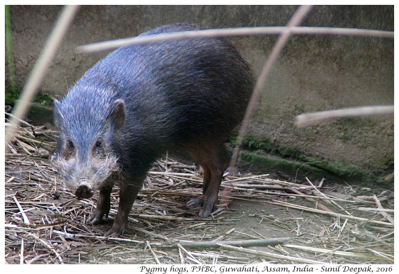 Conservationist Goutam Narayan and the pygmy hog
