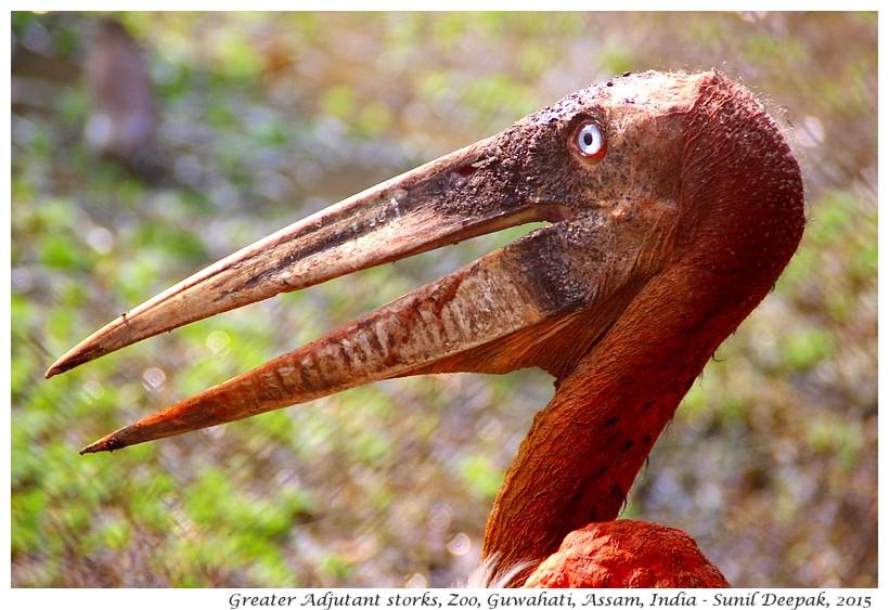 Greater Adjutant storks, Guwahati, Assam, India - Images by Sunil Deepak