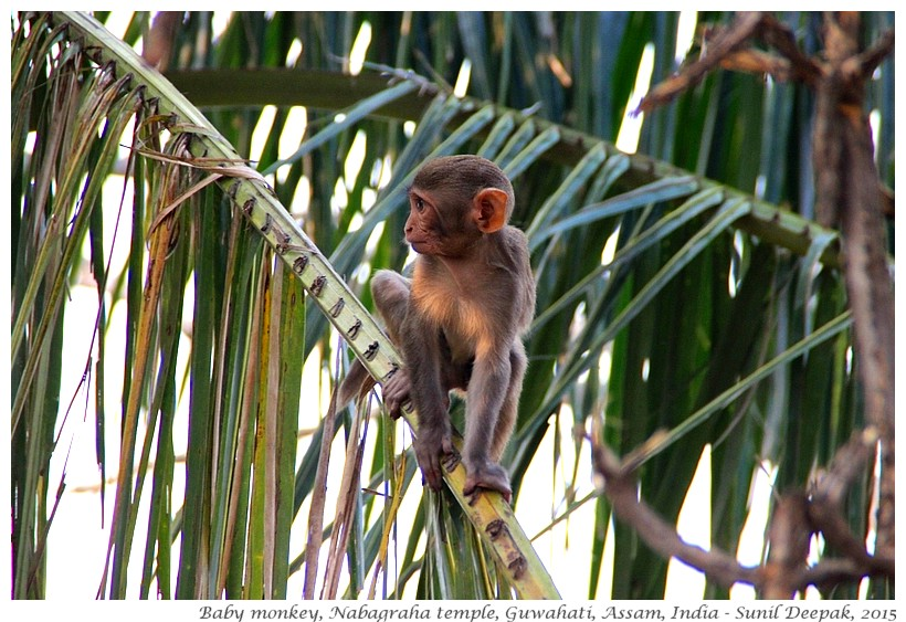 Baby Monkey on a tree, Guwahati, Assam, India