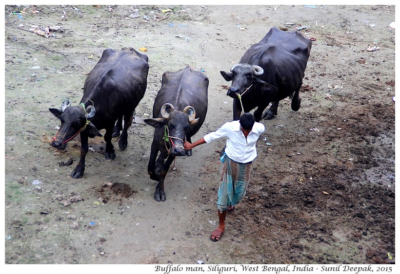 Buffaloes, Siliguri, West Bengal, India - Images by Sunil Deepak