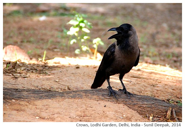 Crows, Lodhi Garden, Delhi,India - images by Sunil Deepak, 2014
