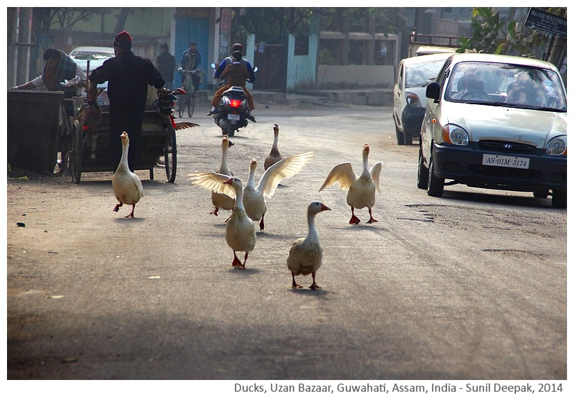 Ducks, Uzan Bazar, Guwahati, Assam, India - Images by Sunil Deepak, 2014