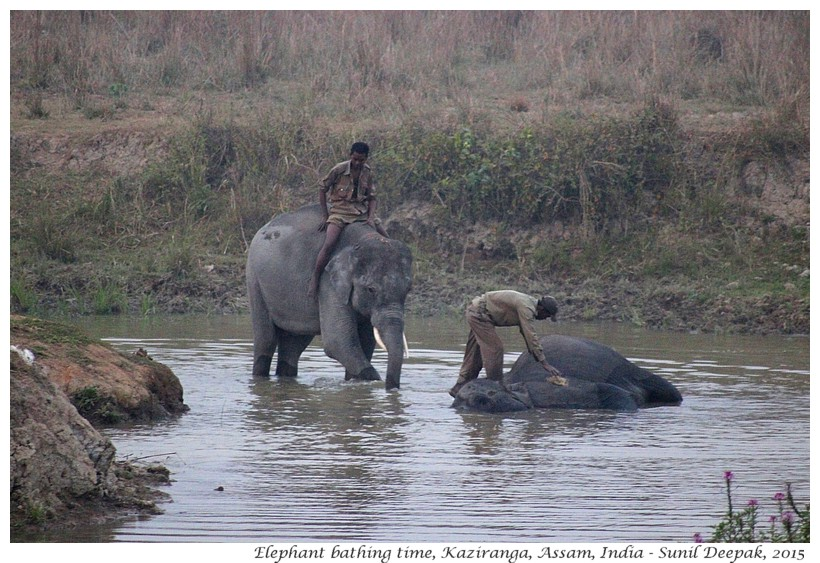 Bath domesticated elephants, Kaziranga, Assam, India - Images by Sunil Deepak