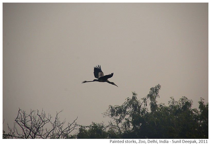Flying painted storks, Zoo, Delhi, India - Images by Sunil Deepak, 2011