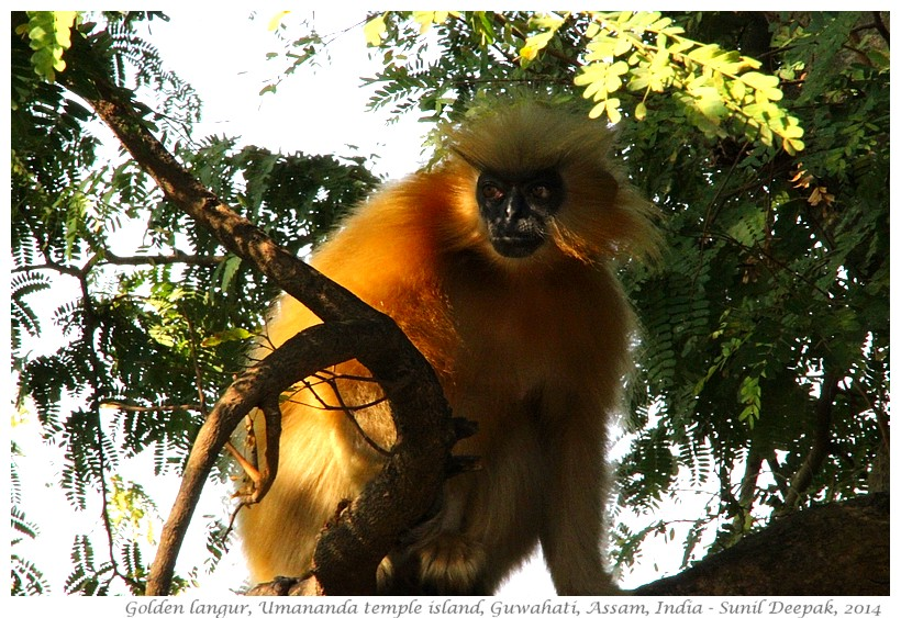 Golden langurs, Umananda temple island, Guwahati, Assam, India - Images by Sunil Deepak, 2014