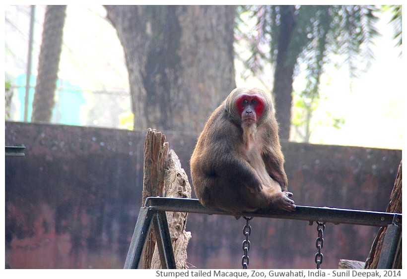 Stumped tailed macaque, zoo Guwahati, India - Images by Sunil Deepak