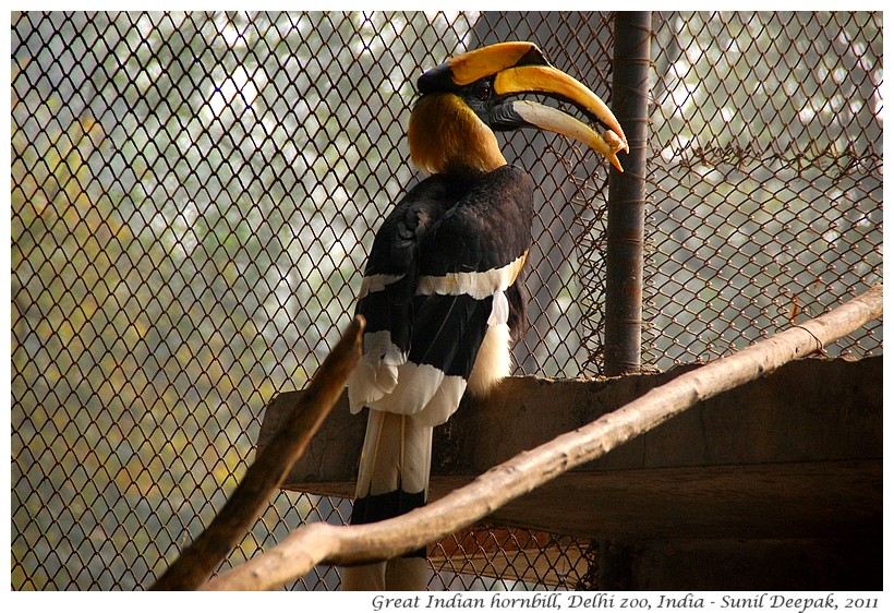 Great Indian Hornbill, Delhi zoo, India - Images by Sunil Deepak