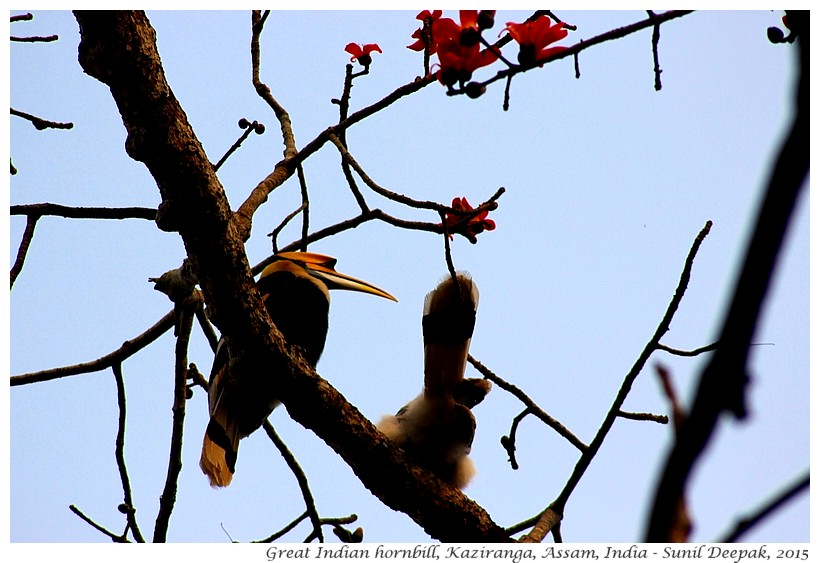 Great Indian Hornbill, Kaziranga, Assam, India - Images by Sunil Deepak