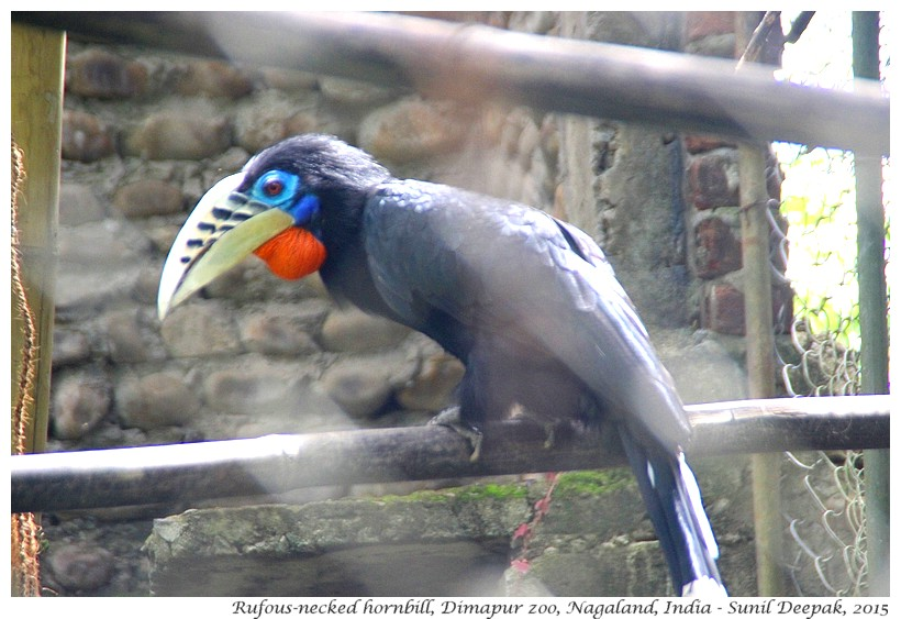 Rufous-necked Hornbill, Dimapur zoo, Nagaland, India - Images by Sunil Deepak