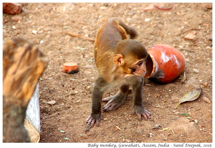 Baby monkey, Guwahati, Assam, India - Images by Sunil Deepak