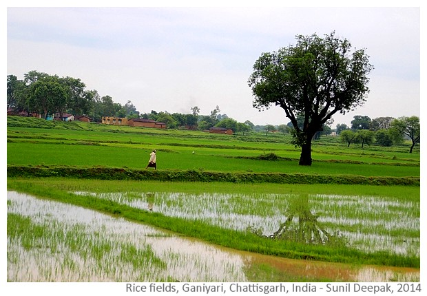Rice fields, Ganiyari, Bilaspur, Chattisgarh, India - Images by Sunil Deepak, 2014
