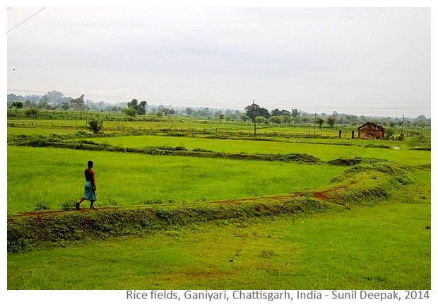 Rice fields, Ganiyari, Bilaspur, Chattisgarh, India - Images by Sunil Deepak, 2014
