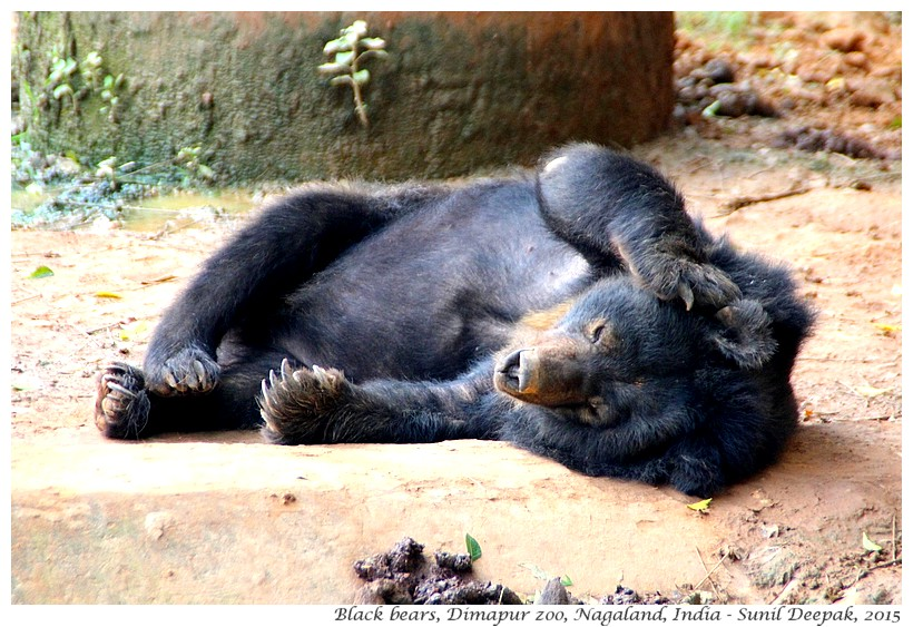 Sleepy bears, Dimapur zoo, Nagaland, India - Images by Sunil Deepak