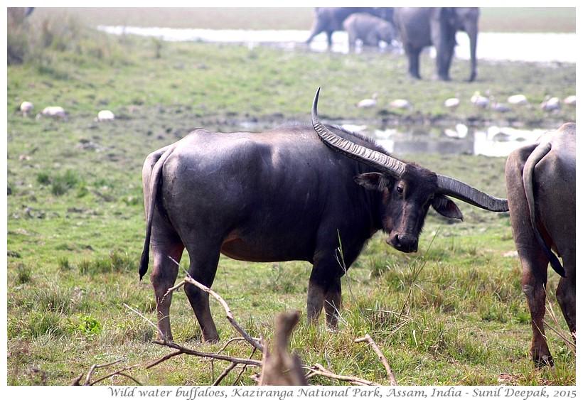 Asian buffaloes, Kaziranga, Assam, India - Images by Sunil Deepak