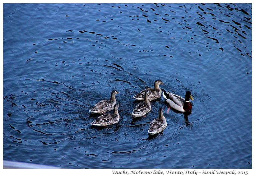 Ducks with babies, Molveno lake, Trento, Italy - Images by Sunil Deepak