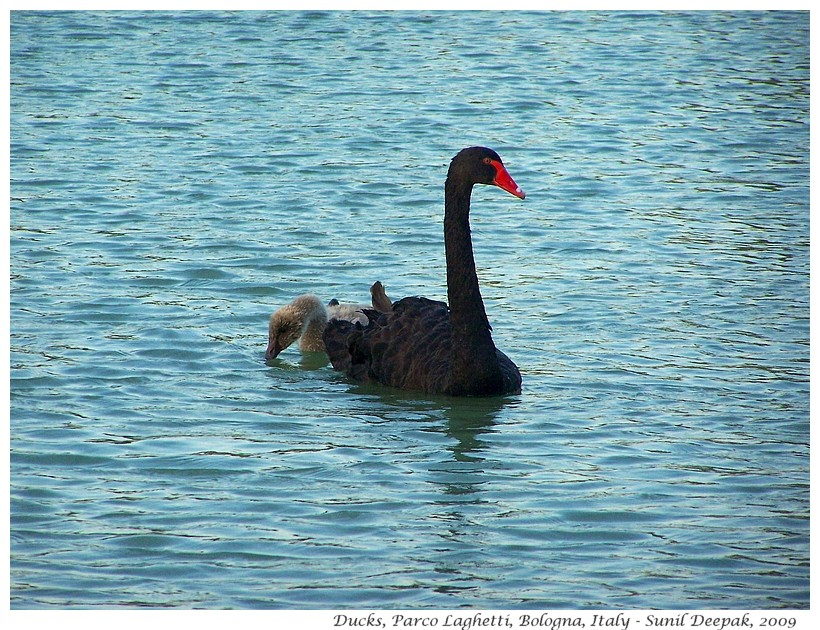 Black swan with babies, Laghetti park, Bologna, Italy - Images by Sunil Deepak
