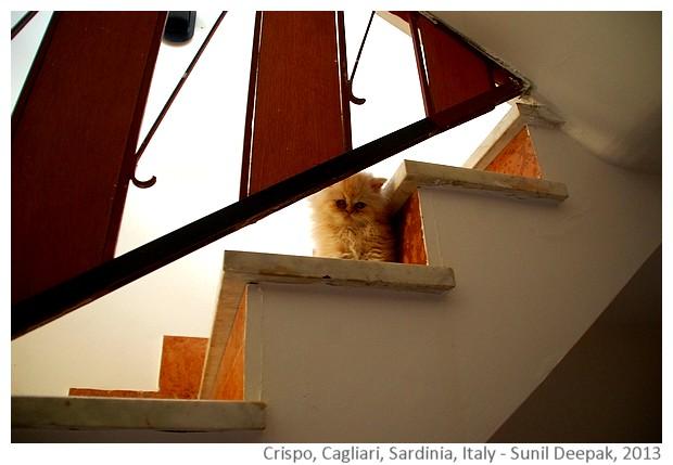 Crispo, siamese cat, Cagliari, Italy - images by Sunil Deepak, 2013