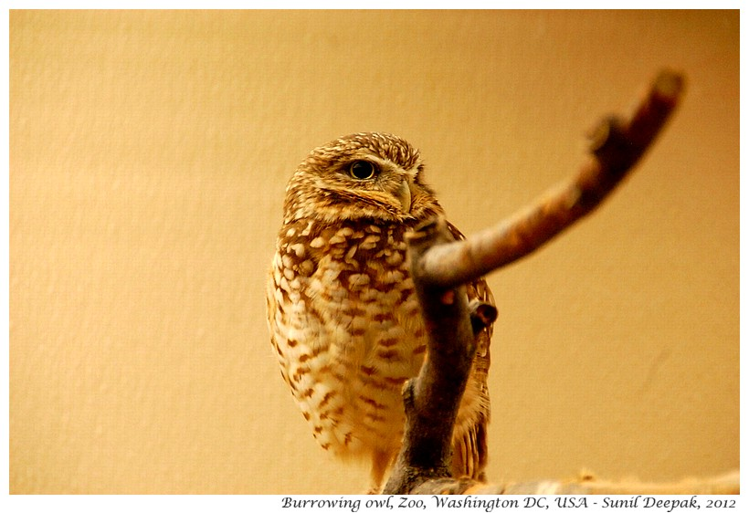 Burrowing owl, Zoo, Washington DC, USA - Images by Sunil Deepak