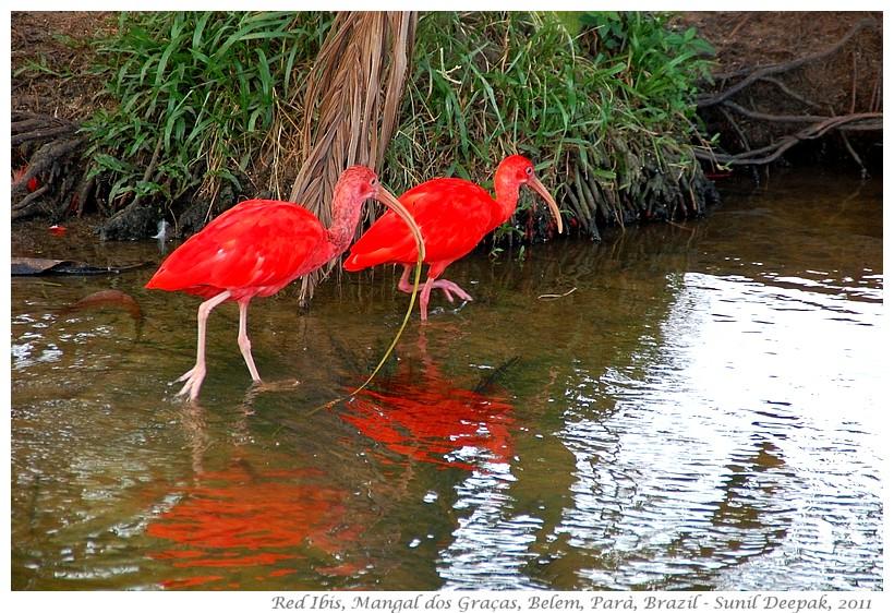 Scarlet ibis, Belem, Para, Brazil - Images by Sunil Deepak