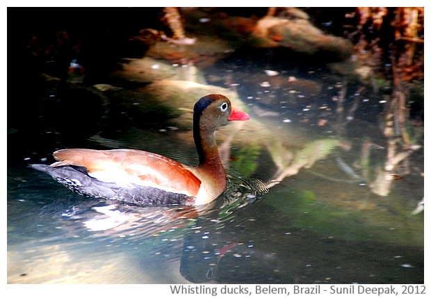 Black bellied whistling ducks, Belem, Brazil - images by Sunil Deepak, 2012