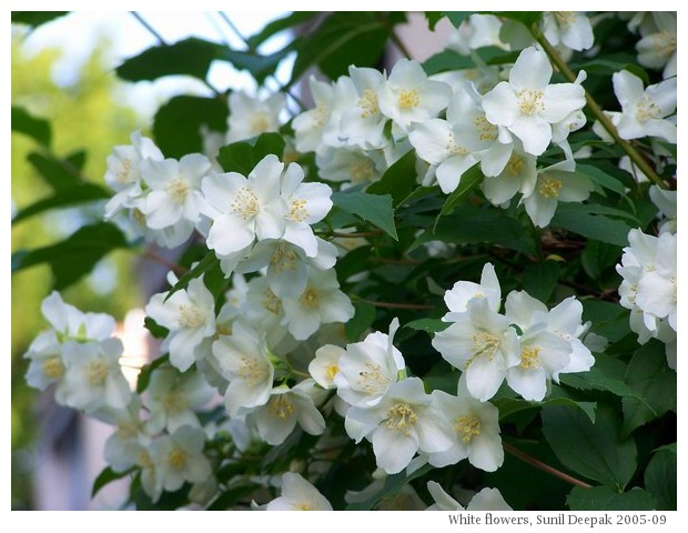 White Flowers From Different Parts Of The World Kalpana Image Archives